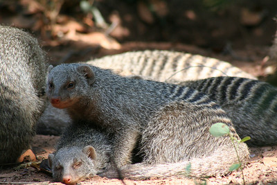Baby warthogs and mongoose pile