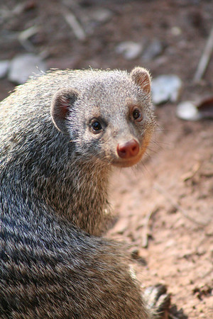Mongoose cuteness