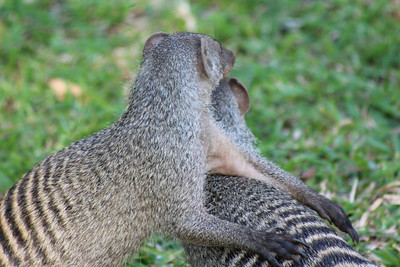 Where mongooses play