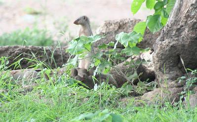 Mongoose pups